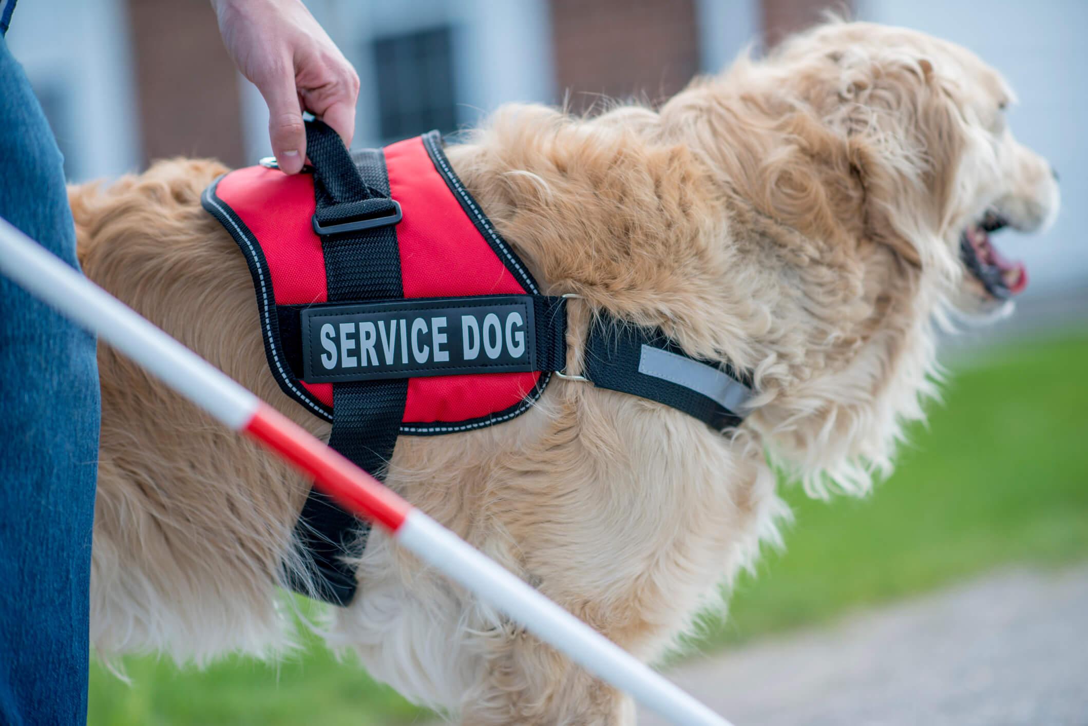 Blind individual's service animal.
